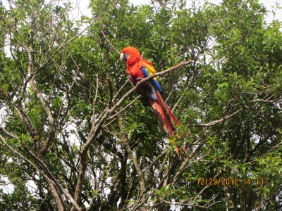 Monte Verde - Colorful Macaw